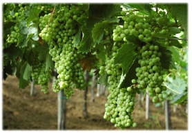 Inzolia grapes ready for harvesting.